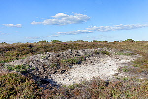Bare, sandy clay soil patch of heathland created with a mechanical digger to provide ideal nesting sites for burrowing insects including the rare Purbeck mason wasp (Pseudepipona herrichii), Godlingst...  -  Nick Upton