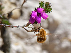 Heath bee fly (Bombylius minor) hovering while it clings to and nectars on Bell heather (Erica cinerea) flowers, Dorset heathland, UK, July.  -  Nick Upton