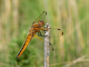 Four-spotted chaser dragonfly (Libellula quadrimaculata) adult sunning on a reed stem near a heathland pond, Dorset, UK, May.  -  Nick Upton