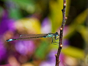 Blue-tailed damselfly (Ischnura elegans) sunning on a plant stem on heathland with flowering Rhododendron (Rhododendron ponticum) in the background, Dorset, UK, May.  -  Nick Upton