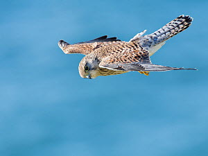 Kestrel (Falco tinnunculus) male hovering as it hunts for prey near coastal cliffs with the sea in the background, the Gower, Wales, UK, July.  -  Nick Upton