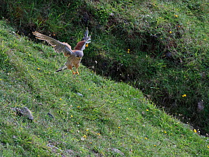 Kestrel (Falco tinnunculus) male pouncing on prey on cliff edge grassland, the Gower, Wales, UK, July.  -  Nick Upton