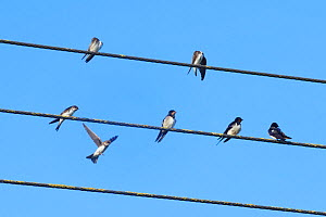 Sand martin (Riparia riparia) landing to join others and three Swallows (Hirundo rustica) perched on power lines as a mixed species group of hirundines gathers ahead of their autumn migration, Glouces...  -  Nick Upton