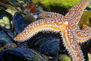 Common Starfish (Asterias rubens) in a rock pool moving over Mussel shells, low on the shore, The Gower, Wales, UK, July.  -  Nick Upton