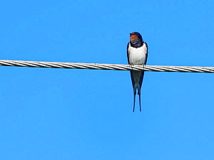 Swallow (Hirundo rustica) perched on a power line ahead of its autumn migration, Gloucestershire, UK, September.  -  Nick Upton