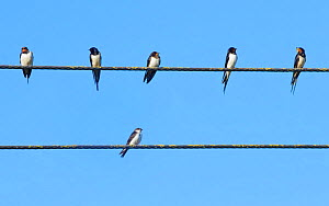 Swallow (Hirundo rustica) group and a House martin (Delichon urbicum) perched on power lines gathering ahead of their autumn migration, Gloucestershire, UK, September.  -  Nick Upton