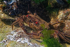 Velvet swimming crab (Necora puber) in a rock pool, The Gower, Wales, UK, September.  -  Nick Upton