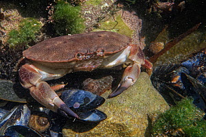 Edible crab (Cancer pagurus) juvenile on the move in a rock pool, The Gower, Wales, UK, July.  -  Nick Upton