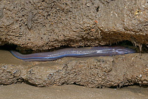European eel (Anguilla anguilla) migratory adult 'silver eel'trapped on a rock ledge on a sandy beach on a very low tide, Dunraven Bay, Glamorgan, Wales UK, September. Protected by their mucus...  -  Nick Upton