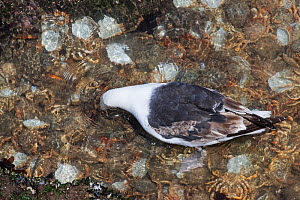Great black-backed gull (Larus marinus) subadult looking for living prey while wading in a rock pool crammed with cast shells of moulted Spiny spider crabs (Maja squinado) on a very low spring tide on...  -  Nick Upton