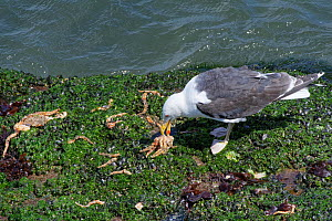 Great black-backed gull (Larus marinus) adult feeding on a Spiny spider crab (Maja squinado) it has just caught on a very low spring tide on a rocky shore, The Gower, Wales, UK, July.  -  Nick Upton