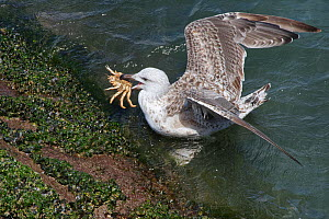 Great black-backed gull (Larus marinus) juvenile swimming to shore with a Spiny spider crab (Maja squinado) it has just caught on a very low spring tide, The Gower, Wales, UK, July.  -  Nick Upton