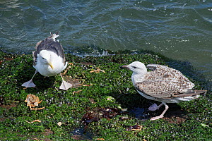 Great black-backed gull (Larus marinus) juvenile approaching a subadult standing over a Spiny spider crab (Maja squinado) it has just caught and is feeding on during a very low spring tide near a rock...  -  Nick Upton