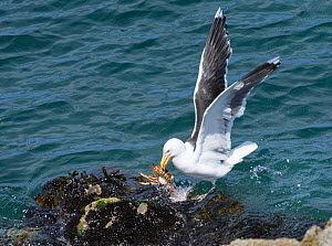 Great black-backed gull (Larus marinus) landing on a rocky shore with a Spiny spider crab (Maja squinado) it has just caught on a very low spring tide, The Gower, Wales, UK, July.  -  Nick Upton