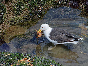 Great black-backed gull (Larus marinus) adult standing in a rock pool with a Spiny spider crab (Maja squinado) it has just caught on a very low spring tide, The Gower, Wales, UK, July.  -  Nick Upton