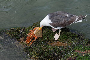 Great black-backed gull (Larus marinus) adult feeding on a large, soft recently moulted male Spiny spider crab (Maja squinado) it has just caught on a very low spring tide, The Gower, Wales, UK, July.  -  Nick Upton