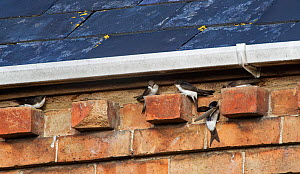House martins (Delichon urbicum) perching on bricks under house eaves as a group gathers ahead of their autumn migration, Gloucestershire, UK, September.  -  Nick Upton