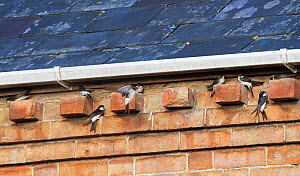 House martins (Delichon urbicum) flying up to and perching on bricks under house eaves as a group gathers ahead of their autumn migration, Gloucestershire, UK, September.  -  Nick Upton