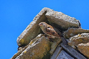 House sparrow (Passer domesticus) female emerging from its nest site under a stone ridge tile on the gable end of a cottage roof, Lacock, Wiltshire, UK, May.  -  Nick Upton