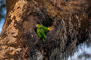 Yellow-fronted parrot (Poicephalus flavifrons) pair outside tree hollow in church forest. Near Chimba, Ethiopia.  -  Bruno D'Amicis