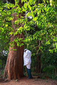 Man praying under East African yellowwood (Afrocarpus gracilior) tree in church forest. Church forests remain largely intact within a degraded landscape as they are considered sacred. Near Zege, Ethio...  -  Bruno D'Amicis