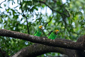 Yellow-fronted parrot (Poicephalus flavifrons) pair perched on branch in church forest. Church forests remain largely intact within a degraded landscape as they are considered sacred. Near Chimba, Eth...  -  Bruno D'Amicis