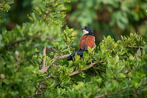 Blue-headed coucal (Centropus monachus) perched in tree. In forest, Lake Tana, Ethiopia.  -  Bruno D'Amicis