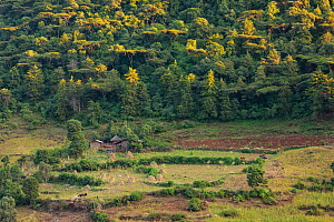 Herders with grazing cattle below church forest of Tara Gedam Orthodox Church. Church forests remain largely intact within a landscape degraded by felling and overgrazing. The forests have a symbolic...  -  Bruno D'Amicis