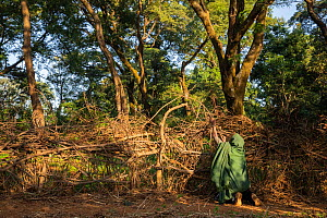 Church student building fence to prevent cattle entering church forest. Church forests remain largely intact within a degraded landscape as they are considered sacred. Near Kunzila, Ethiopia. 2018.  -  Bruno D'Amicis