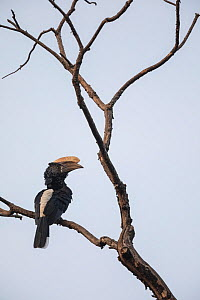 Silvery-cheeked hornbill (Bycanistes brevis) male perched in tree. Zege Peninsula, Ethiopia.  -  Bruno D'Amicis