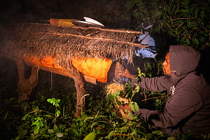 Man using smoke to calm bees while collecting honey from beehive. Zege, Zege Peninsula, Ethiopia. 2018.  -  Bruno D'Amicis