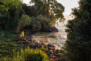Priest walking along shore of Lake Tana, with church forest in background. Church forests are forest fragments surrounding orthodox churches, remaining intact in a largely deforested landscape as they...  -  Bruno D'Amicis