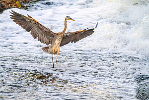 Great blue heron (Ardea herodias) fishing in foaming water discharged from water treatment works into Sweetwater Wetlands. . Tucson, Arizona, USA. 2020.  -  Jack Dykinga
