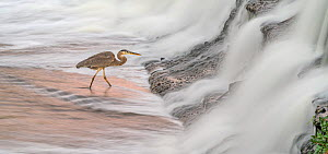 Great blue heron (Ardea herodias) fishing in foaming water discharged from water treatment works into Sweetwater Wetlands. Tucson, Arizona, USA. 2020.  -  Jack Dykinga