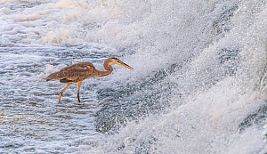 Great blue heron (Ardea herodias) fishing in foaming water discharged from water treatment works into Sweetwater Wetlands.Tucson, Arizona, USA. 2020.  -  Jack Dykinga