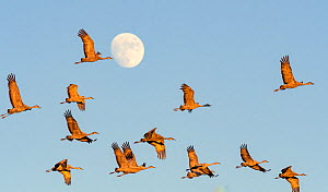 Sandhill crane (Grus canadensis) flock during migration, full moon in background. Whitewater Draw Wildlife Area, Arizona, USA. October.  -  Jack Dykinga