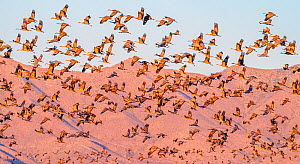 Sandhill crane (Grus canadensis) flock during migration, Swisshelm Mountains in background. Whitewater Draw Wildlife Area, Arizona, USA. October.  -  Jack Dykinga