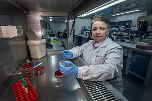 Associate Professor Michelle Power from Macquarie University Department of Biological Science plates out a culture of E.coli taken from faecal samples from Antarctic marine life (Wedell seal - Leptony...  -  Doug Gimesy