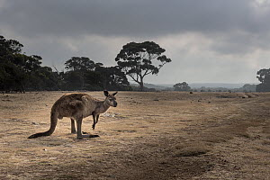 Kangaroo Island kangaroo (Macropus fuliginosus fuliginosus) on grassland, a reclaimed farming property and now part of the Kelly Hill conservation park, Kangaroo Island, South Australia, Australia.  -  Doug Gimesy