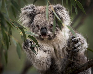 Portrait of a Victorian koala (Phascolarctos cinereus). Koalas from the more southern and colder states of Australia have longer hair than there more northly counterparts. Cape Otway, Victoria, Austra...  -  Doug Gimesy