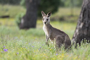 Eastern Grey Kangaroo  (Macropus giganteus) Linthorp, Queensland, Australia. Captive, rescued animal.  -  Doug Gimesy