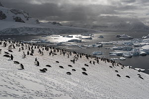 Colony of Gentoo penguins (Pygoscelis papua) on a snow hill with sea in the background. Cuverville Island, Antarctic Peninsula, Antarctica  -  Doug Gimesy