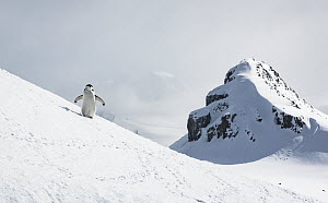 Chinstrap penguin (Pygoscelis antarcticus), walking on a hill towards a nesting site. Halfmoon Island, Antarctic peninsula, Antarctica.  -  Doug Gimesy