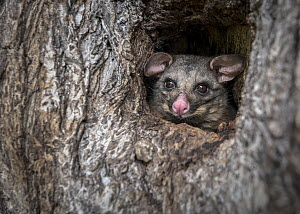 Brushtail possum (Trichosurus vulpecula) in a tree hollow/hole looking out during the day. Carlton Gardens, Carlton, Victoria, Australia.  -  Doug Gimesy