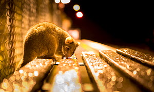 Ringtail possum (Pseudocheirus peregrinus) licks water droplets from a train station bench at night.  Gardenvale train station, Gardenvale, Victoria, Australia. September.  -  Doug Gimesy