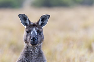 Kangaroo Island kangaroo (Macropus fuliginosus fuliginosus) portrait,with rare facial markings. Kangaroo Island, South Australia, Australia. January, 2016  -  Doug Gimesy