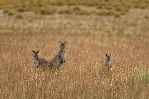 Small mob of Kangaroo Island kangaroos (Macropus fuliginosus fuliginosus) grazing in fields in morning sun. Kangaroo Island, South Australia, Australia.  -  Doug Gimesy