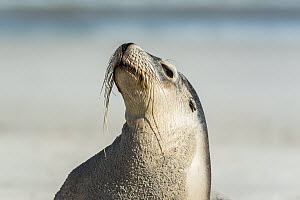 Australian sea lion (Neophoca cinerea) basking in the sun.? Sandy Bay, Kangaroo Island, South Australia, Australia.?  -  Doug Gimesy