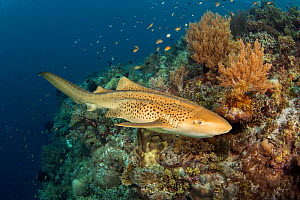 Leopard shark (Stegostoma fasciatum) cruising along the edge of an underwater drop off, Philippines.  -  David Fleetham