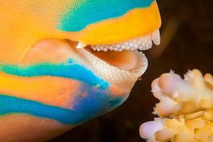 Close up at the dental plates of Three color parrotfish (Scarus tricolor) as it comes in for a bite of hard coral, Fiji.  -  David Fleetham